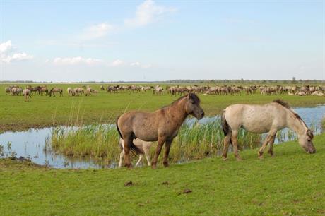 Konikpaarden grazen in de Oostvaardersplassen